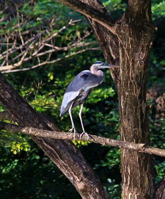 Great Blue Heron on a Limb