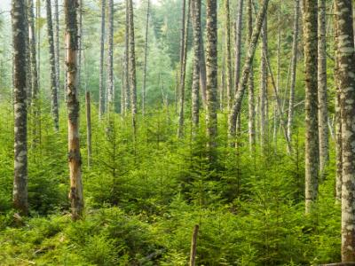 Living Evergreen Forest