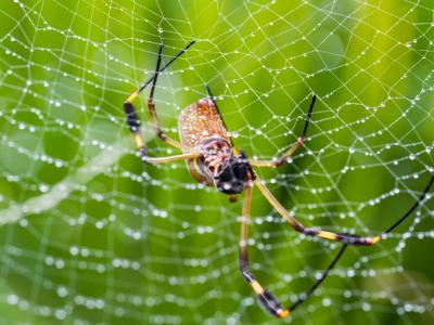SIx-Legged Golden Orb Weaver