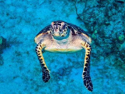 Hawkbill Turtle Approaching