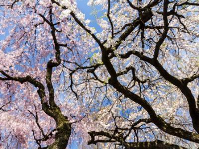 Cherry Tree Sky Silhouette