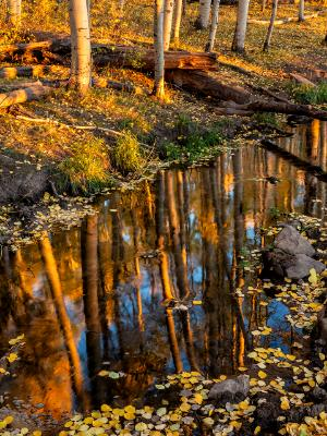 Aspen Grove Reflected