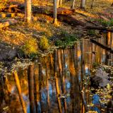 Aspen Grove Reflected