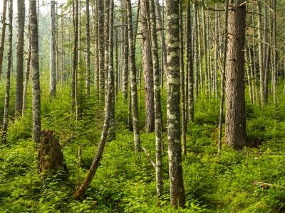 Adirondacks Evergreen Forest