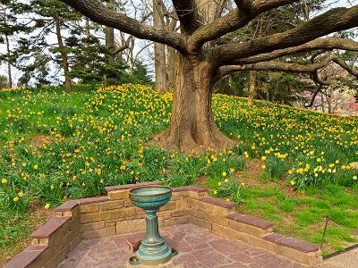 Daffodil Hill & Bird Bath