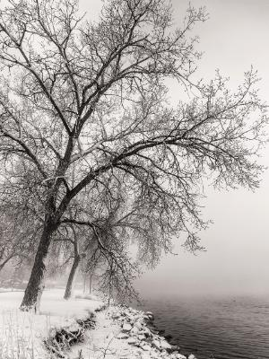Cottonwood Trees in Fog on McIntosh Lake