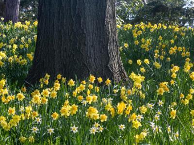 Daffodils and Oak