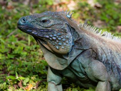 Blue Iguana in Grass