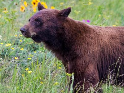 Black Bear Amidst the Wildflowers