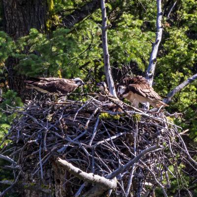 Yellowstone Osprey Family