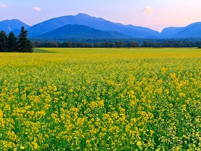 Adirondacks Canola Field