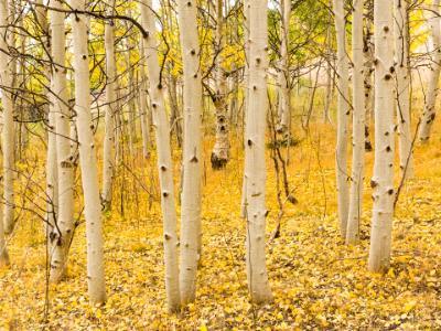 Aspen Trunks and Golden Carpet
