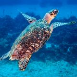 Hawksbill Sea Turtle Surfacing