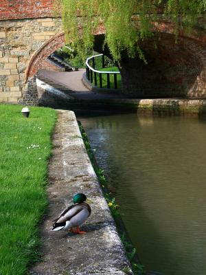 Canal Duck