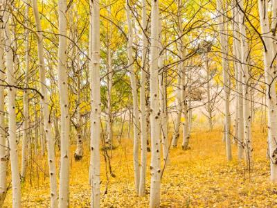 Aspen Forest Golden Carpet