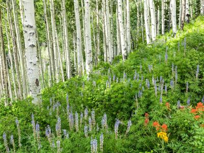 Lush Hillside of Aspens and Lupine
