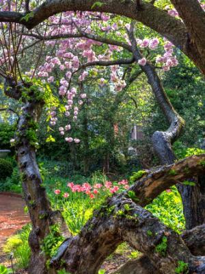 Botanic Gardens Gnarly Cherry Tree
