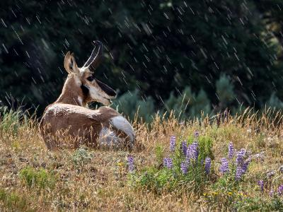 Pronghorn in the Sun and Rain