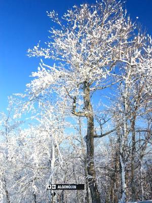 Algonquin Snowy Tree