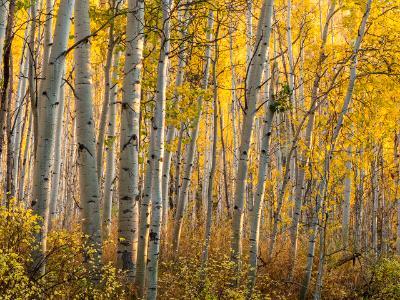 Golden Aspen Forest Twilight
