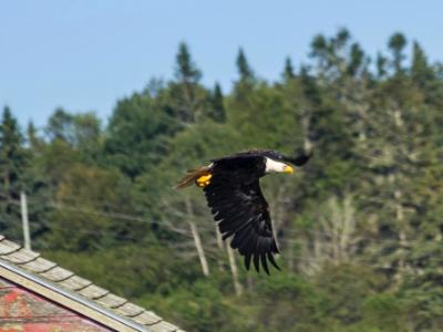 Eagle Skimming Rooftops