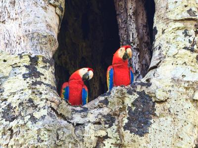 Seeing Double - Scarlet macaws