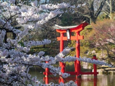 Cherry Blossoms and Shinto Shrine