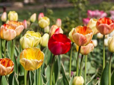 Five Tulips