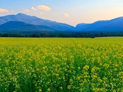 Canola Fields Adirondacks Panorama (Click for full width)