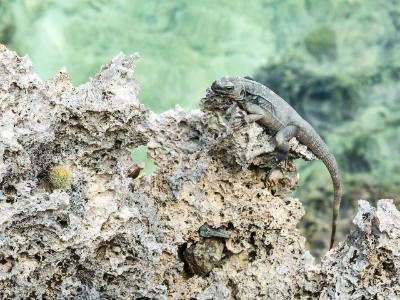 Roatan Lizard on Coral Shore