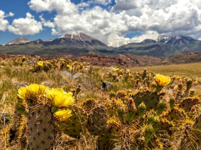 Prickly Pear Cactus Yellow Blooms
