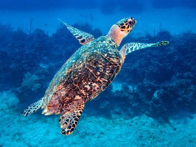 Hawksbill Sea Turtle Surfacing