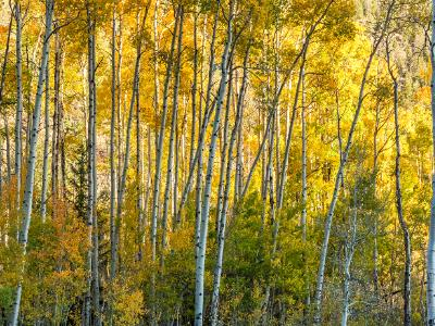 Aspen Forest Autumn Layers