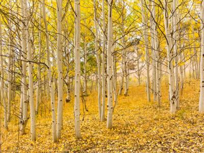 Golden Aspen Grove