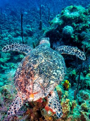 Hawksbill Turtle Glides over the Reef