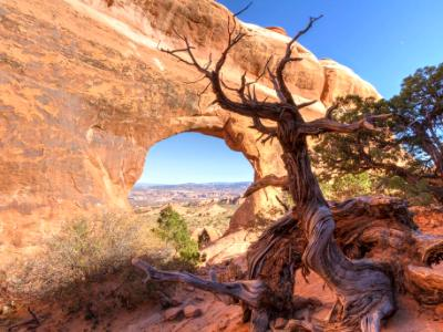 Walking Juniper Tree  at Partition Arch