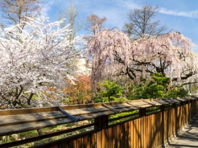 Garden Fence and Cherry Trees
