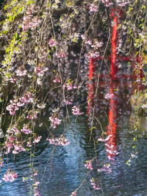 Japanese Pond Hanging Cherry Blossoms