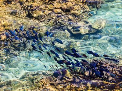 School of Blue Tang Crossing Roatan Reef