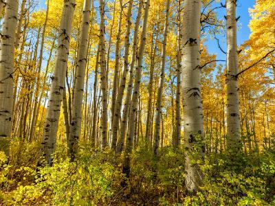 McClure Pass Aspen Grove in Peak Autumn Color