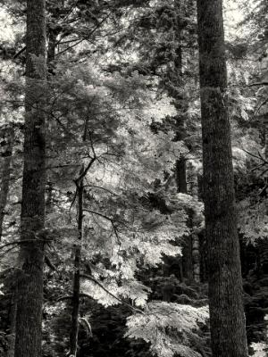 Evergreen Backlit Forest B&W