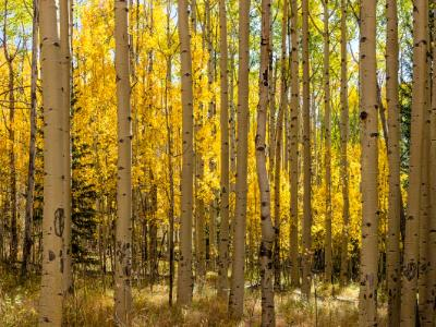 Aspen Forest Panorama (Click for full width)