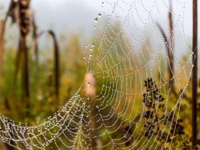 Misty Morning Spider Web
