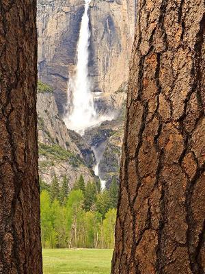 Ponderosa Pines & Yosemite Falls