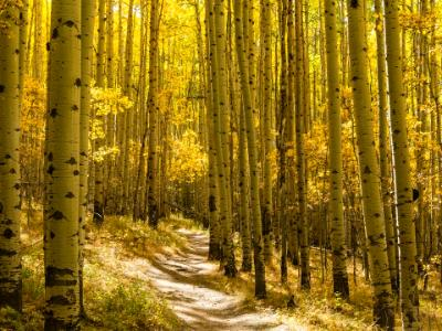 Grove of Golden Aspens