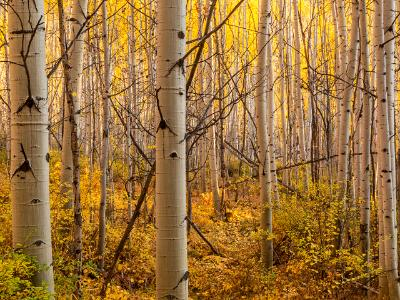 Golden Underbrush and Backlit Aspen Forest
