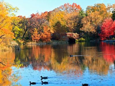 Central Park Pond Ducks