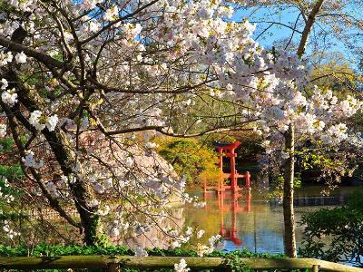 BBG Cherry Blossoms and Shrine