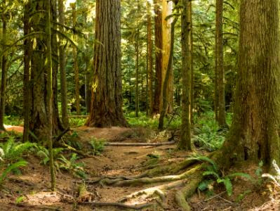 Cathedral Grove Giants Panorama