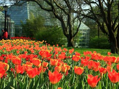 Tulips @ BBG